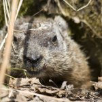 Groundhog protecting his hole
